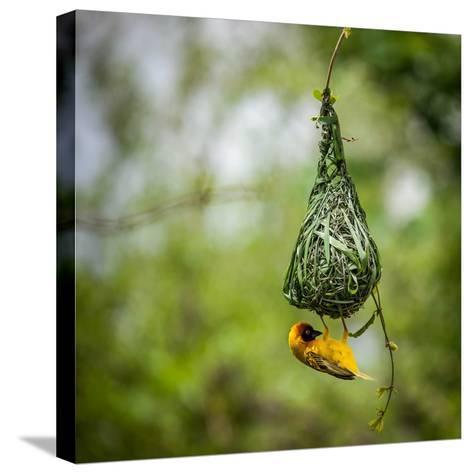 Nest-Building-Bartosz Budrewicz-Stretched Canvas Print