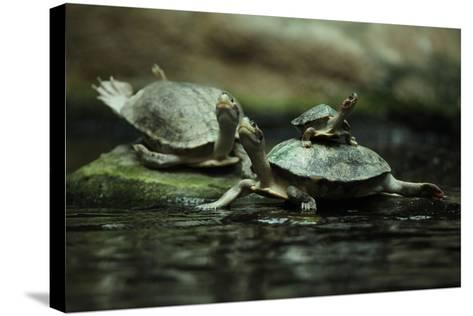 Southern River Terrapin (Batagur Affinis), also known as the Batagur. Wildlife Animal.-Vladimir Wrangel-Stretched Canvas Print