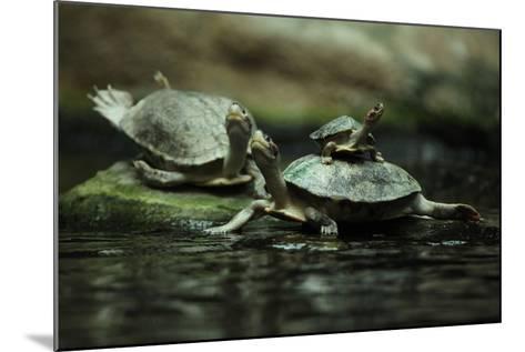 Southern River Terrapin (Batagur Affinis), also known as the Batagur. Wildlife Animal.-Vladimir Wrangel-Mounted Photographic Print