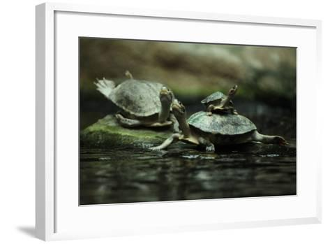 Southern River Terrapin (Batagur Affinis), also known as the Batagur. Wildlife Animal.-Vladimir Wrangel-Framed Art Print