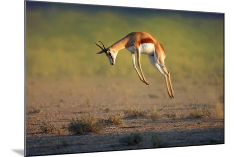 Running Springbok Jumping High - Antidorcas Marsupialis - Kalahari - South Africa-Johan Swanepoel-Mounted Photographic Print