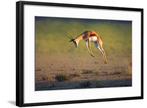 Running Springbok Jumping High - Antidorcas Marsupialis - Kalahari - South Africa-Johan Swanepoel-Framed Art Print