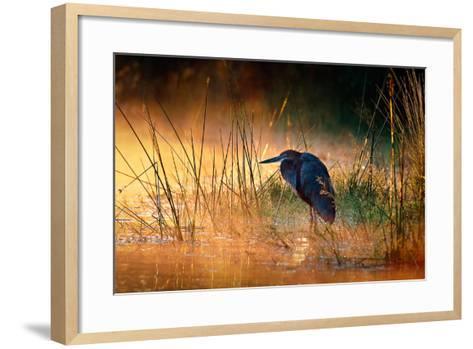 Goliath Heron (Ardea Goliath) with Sunrise over Misty River - Kruger National Park (South Africa)-Johan Swanepoel-Framed Art Print