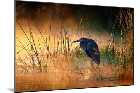 Goliath Heron (Ardea Goliath) with Sunrise over Misty River - Kruger National Park (South Africa)-Johan Swanepoel-Mounted Photographic Print