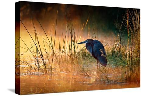 Goliath Heron (Ardea Goliath) with Sunrise over Misty River - Kruger National Park (South Africa)-Johan Swanepoel-Stretched Canvas Print