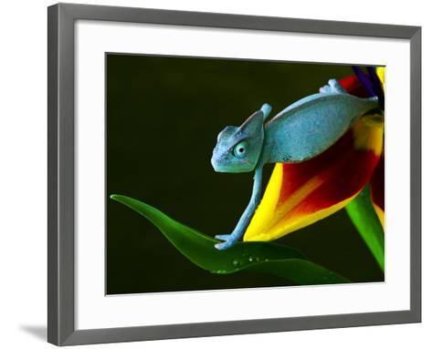 Chameleons Belong to One of the Best known Lizard Families.-Sebastian Duda-Framed Art Print