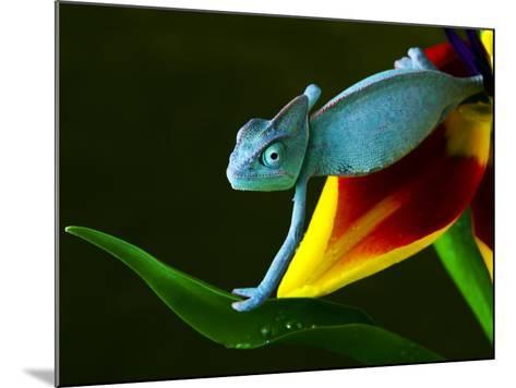 Chameleons Belong to One of the Best known Lizard Families.-Sebastian Duda-Mounted Photographic Print