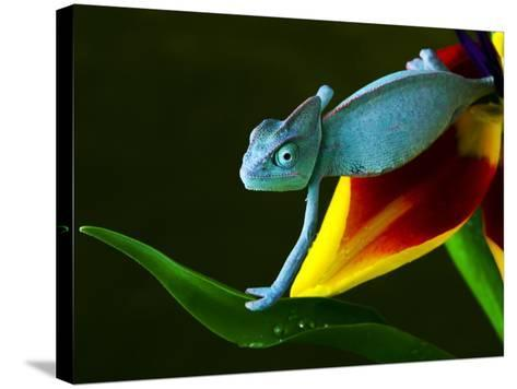 Chameleons Belong to One of the Best known Lizard Families.-Sebastian Duda-Stretched Canvas Print