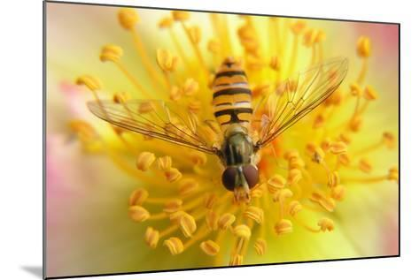 Fruit Fly on a Rose-Anette Linnea Rasmussen-Mounted Photographic Print