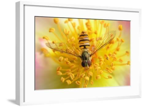 Fruit Fly on a Rose-Anette Linnea Rasmussen-Framed Art Print