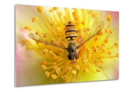Fruit Fly on a Rose-Anette Linnea Rasmussen-Metal Print