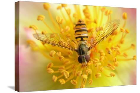 Fruit Fly on a Rose-Anette Linnea Rasmussen-Stretched Canvas Print