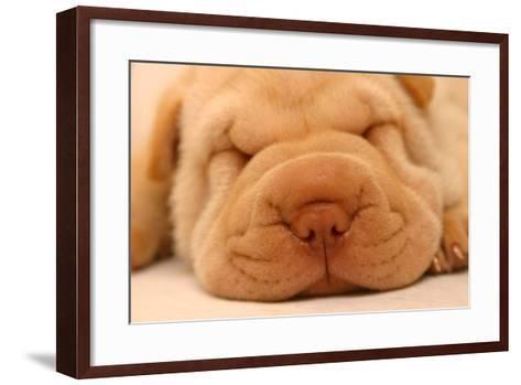 Photo of a Sharpei Puppy Asleep.-First Class Photos PTY LTD-Framed Art Print