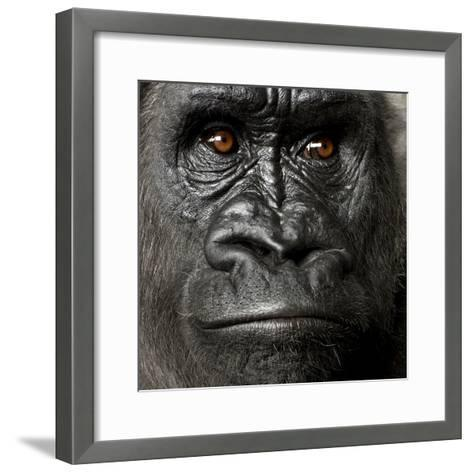 Young Silverback Gorilla in Front of a White Background-Eric Isselee-Framed Art Print