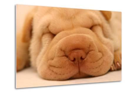 Photo of a Sharpei Puppy Asleep.-First Class Photos PTY LTD-Metal Print