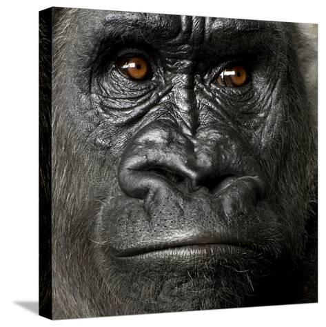 Young Silverback Gorilla in Front of a White Background-Eric Isselee-Stretched Canvas Print