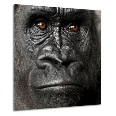 Young Silverback Gorilla in Front of a White Background-Eric Isselee-Metal Print