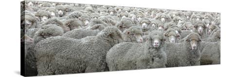 Sheep Looking-Lee Torrens-Stretched Canvas Print