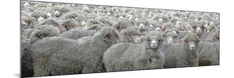 Sheep Looking-Lee Torrens-Mounted Photographic Print