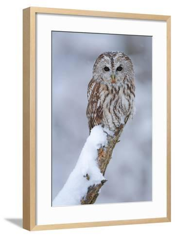 Tawny Owl Snow Covered in Snowfall during Winter. Wildlife Scene from Nature. Snow Cover Tree with-Ondrej Prosicky-Framed Art Print