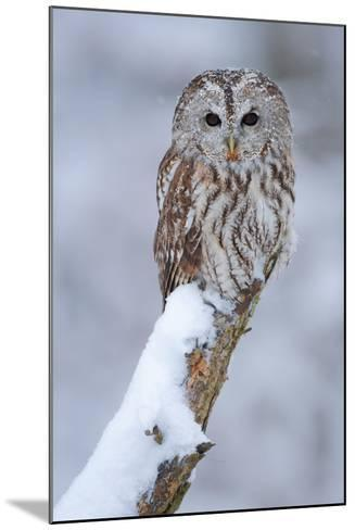 Tawny Owl Snow Covered in Snowfall during Winter. Wildlife Scene from Nature. Snow Cover Tree with-Ondrej Prosicky-Mounted Photographic Print