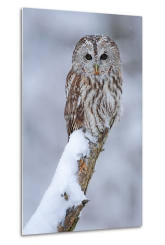 Tawny Owl Snow Covered in Snowfall during Winter. Wildlife Scene from Nature. Snow Cover Tree with-Ondrej Prosicky-Metal Print