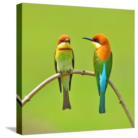 Couple of Bee Eater Bird-Butterfly Hunter-Stretched Canvas Print