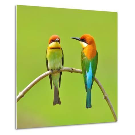 Couple of Bee Eater Bird-Butterfly Hunter-Metal Print