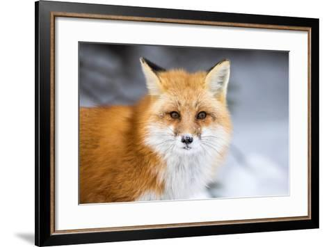 Red Fox, Vulpes Vulpes, in a Snowy Faced Stare-RT Images-Framed Art Print
