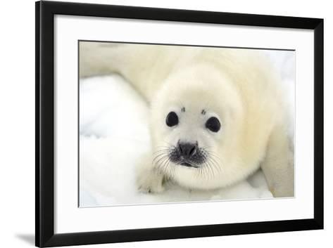 Baby Harp Seal Pup on Ice of the White Sea-Vladimir Melnik-Framed Art Print