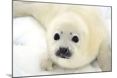 Baby Harp Seal Pup on Ice of the White Sea-Vladimir Melnik-Mounted Photographic Print