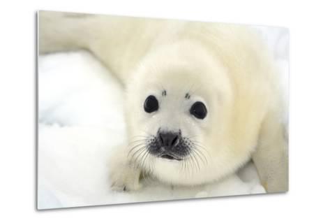Baby Harp Seal Pup on Ice of the White Sea-Vladimir Melnik-Metal Print