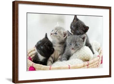Portrait of Group of Young Scottish Cats . Studio Shot.-Nina Buday-Framed Art Print