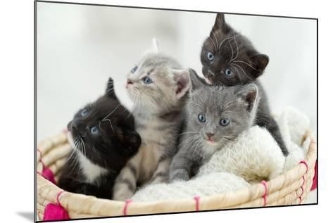 Portrait of Group of Young Scottish Cats . Studio Shot.-Nina Buday-Mounted Photographic Print