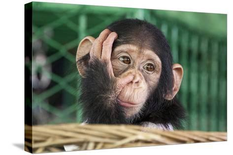 Chimpanzee Face-apple2499-Stretched Canvas Print
