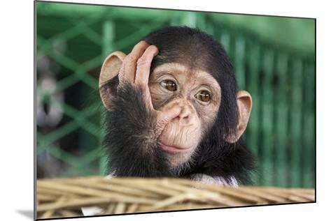 Chimpanzee Face-apple2499-Mounted Photographic Print