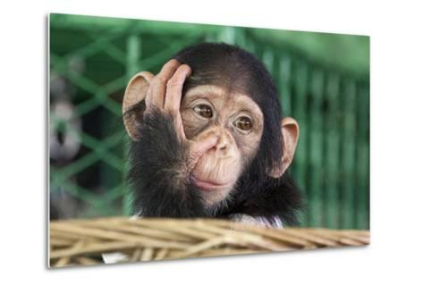 Chimpanzee Face-apple2499-Metal Print
