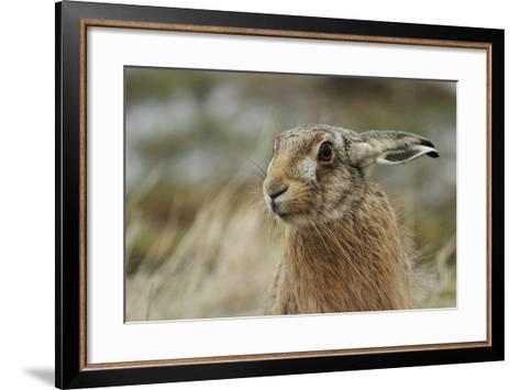 Brown Hare (Lepus Europaeus) Headshot.-Sandra Standbridge-Framed Art Print