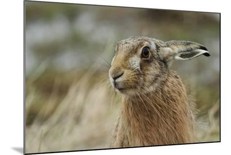 Brown Hare (Lepus Europaeus) Headshot.-Sandra Standbridge-Mounted Photographic Print
