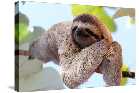 Happy Sloth Hanging on the Tree-Janossy Gergely-Stretched Canvas Print