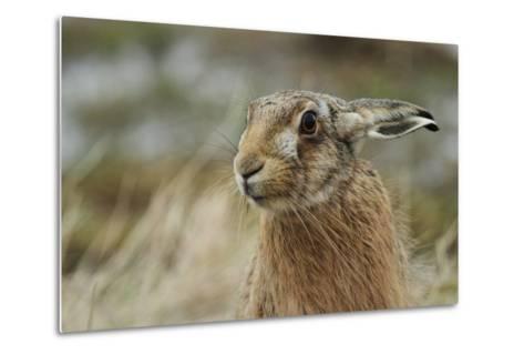 Brown Hare (Lepus Europaeus) Headshot.-Sandra Standbridge-Metal Print