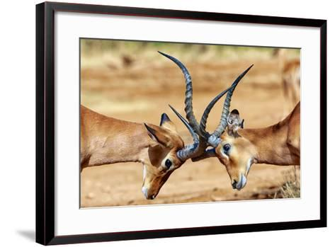 Impalas Fighting at Samburu-matthieu Gallet-Framed Art Print
