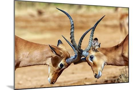 Impalas Fighting at Samburu-matthieu Gallet-Mounted Photographic Print
