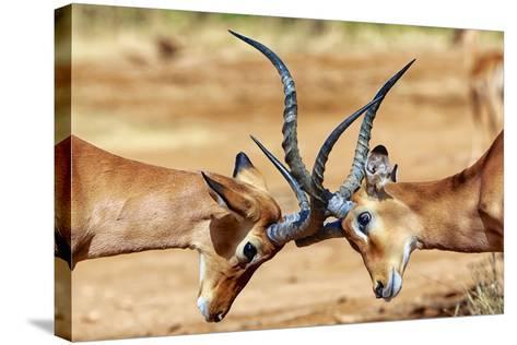 Impalas Fighting at Samburu-matthieu Gallet-Stretched Canvas Print