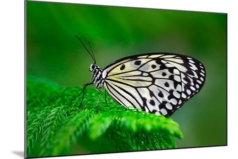 Beautiful Butterfly Paper Kite, Idea Leuconoe, Insect in the Nature Habitat, Green Leaves, Philippi-Ondrej Prosicky-Mounted Photographic Print