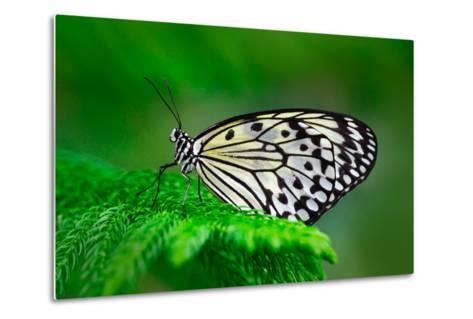 Beautiful Butterfly Paper Kite, Idea Leuconoe, Insect in the Nature Habitat, Green Leaves, Philippi-Ondrej Prosicky-Metal Print