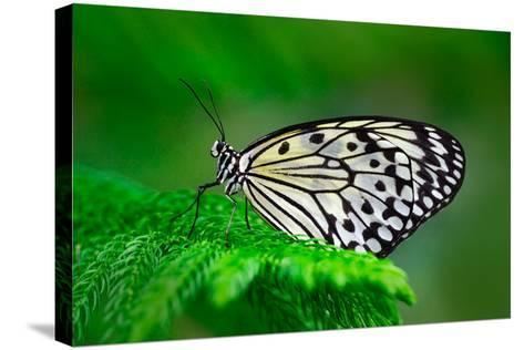 Beautiful Butterfly Paper Kite, Idea Leuconoe, Insect in the Nature Habitat, Green Leaves, Philippi-Ondrej Prosicky-Stretched Canvas Print