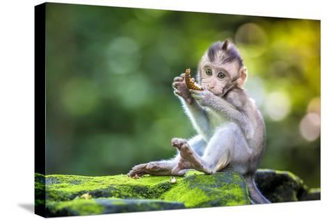 Little Baby-Monkey in Monkey Forest of Ubud, Bali, Indonesia- trubavin-Stretched Canvas Print