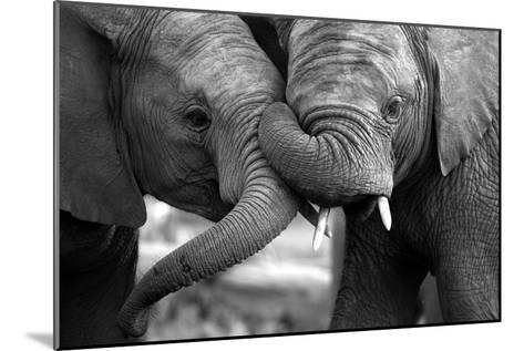 This Amazing Black and White Photo of Two Elephants Interacting Was Taken on Safari in Africa.-JONATHAN PLEDGER-Mounted Premium Photographic Print