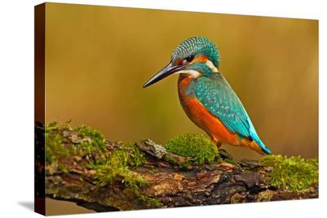 Beautiful Kingfisher with Clear Green Background. Kingfisher, Blue and Orange Bird Sitting on the B-Ondrej Prosicky-Stretched Canvas Print